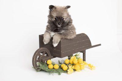 puppy253 week7 BowTiePomsky.com Bowtie Pomsky Puppy For Sale Husky Pomeranian Mini Dog Spokane WA Breeder Blue Eyes Pomskies Celebrity Puppy web2