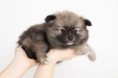 puppy253 week7 BowTiePomsky.com Bowtie Pomsky Puppy For Sale Husky Pomeranian Mini Dog Spokane WA Breeder Blue Eyes Pomskies Celebrity Puppy web7