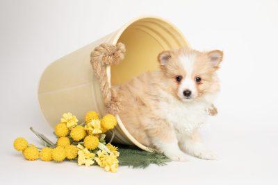 puppy254 week7 BowTiePomsky.com Bowtie Pomsky Puppy For Sale Husky Pomeranian Mini Dog Spokane WA Breeder Blue Eyes Pomskies Celebrity Puppy web1