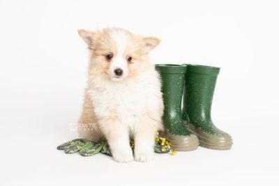 puppy254 week7 BowTiePomsky.com Bowtie Pomsky Puppy For Sale Husky Pomeranian Mini Dog Spokane WA Breeder Blue Eyes Pomskies Celebrity Puppy web5