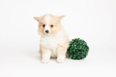 puppy254 week7 BowTiePomsky.com Bowtie Pomsky Puppy For Sale Husky Pomeranian Mini Dog Spokane WA Breeder Blue Eyes Pomskies Celebrity Puppy web6