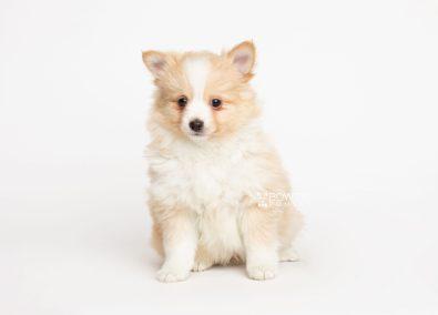 puppy254 week7 BowTiePomsky.com Bowtie Pomsky Puppy For Sale Husky Pomeranian Mini Dog Spokane WA Breeder Blue Eyes Pomskies Celebrity Puppy web7