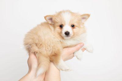puppy254 week7 BowTiePomsky.com Bowtie Pomsky Puppy For Sale Husky Pomeranian Mini Dog Spokane WA Breeder Blue Eyes Pomskies Celebrity Puppy web8