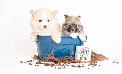 puppy256-257 week7 BowTiePomsky.com Bowtie Pomsky Puppy For Sale Husky Pomeranian Mini Dog Spokane WA Breeder Blue Eyes Pomskies Celebrity Puppy web