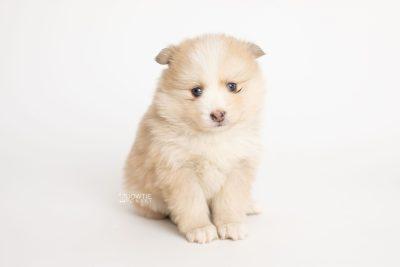 puppy257 week5 BowTiePomsky.com Bowtie Pomsky Puppy For Sale Husky Pomeranian Mini Dog Spokane WA Breeder Blue Eyes Pomskies Celebrity Puppy web6