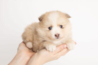 puppy257 week5 BowTiePomsky.com Bowtie Pomsky Puppy For Sale Husky Pomeranian Mini Dog Spokane WA Breeder Blue Eyes Pomskies Celebrity Puppy web7