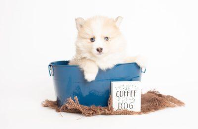 puppy257 week7 BowTiePomsky.com Bowtie Pomsky Puppy For Sale Husky Pomeranian Mini Dog Spokane WA Breeder Blue Eyes Pomskies Celebrity Puppy web1