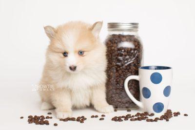 puppy257 week7 BowTiePomsky.com Bowtie Pomsky Puppy For Sale Husky Pomeranian Mini Dog Spokane WA Breeder Blue Eyes Pomskies Celebrity Puppy web3