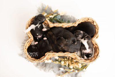 puppy276-282 week1 BowTiePomsky.com Bowtie Pomsky Puppy For Sale Husky Pomeranian Mini Dog Spokane WA Breeder Blue Eyes Pomskies Celebrity Puppy web4