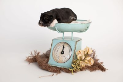puppy278 week1 BowTiePomsky.com Bowtie Pomsky Puppy For Sale Husky Pomeranian Mini Dog Spokane WA Breeder Blue Eyes Pomskies Celebrity Puppy web1