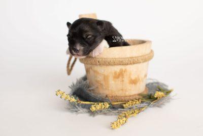 puppy278 week1 BowTiePomsky.com Bowtie Pomsky Puppy For Sale Husky Pomeranian Mini Dog Spokane WA Breeder Blue Eyes Pomskies Celebrity Puppy web2