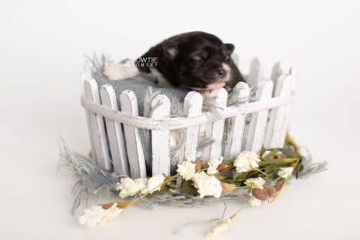puppy278 week1 BowTiePomsky.com Bowtie Pomsky Puppy For Sale Husky Pomeranian Mini Dog Spokane WA Breeder Blue Eyes Pomskies Celebrity Puppy web7
