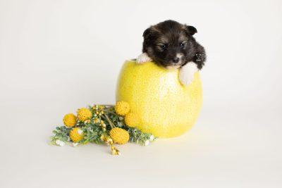 puppy278 week3 BowTiePomsky.com Bowtie Pomsky Puppy For Sale Husky Pomeranian Mini Dog Spokane WA Breeder Blue Eyes Pomskies Celebrity Puppy web2