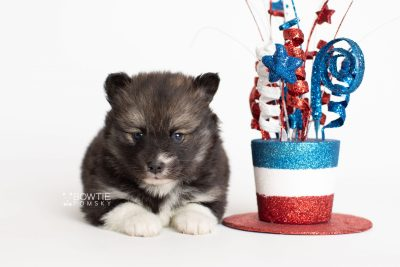 puppy278 week5 BowTiePomsky.com Bowtie Pomsky Puppy For Sale Husky Pomeranian Mini Dog Spokane WA Breeder Blue Eyes Pomskies Celebrity Puppy web5