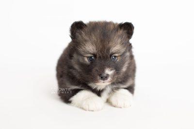puppy278 week5 BowTiePomsky.com Bowtie Pomsky Puppy For Sale Husky Pomeranian Mini Dog Spokane WA Breeder Blue Eyes Pomskies Celebrity Puppy web6
