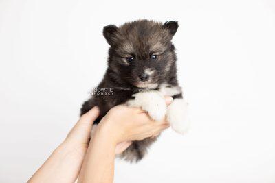 puppy278 week5 BowTiePomsky.com Bowtie Pomsky Puppy For Sale Husky Pomeranian Mini Dog Spokane WA Breeder Blue Eyes Pomskies Celebrity Puppy web7