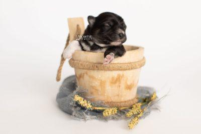 puppy279 week1 BowTiePomsky.com Bowtie Pomsky Puppy For Sale Husky Pomeranian Mini Dog Spokane WA Breeder Blue Eyes Pomskies Celebrity Puppy web2