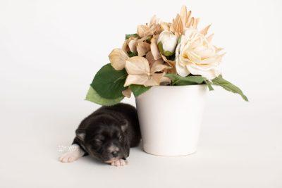 puppy279 week1 BowTiePomsky.com Bowtie Pomsky Puppy For Sale Husky Pomeranian Mini Dog Spokane WA Breeder Blue Eyes Pomskies Celebrity Puppy web5