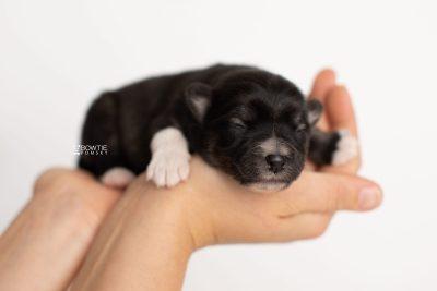puppy279 week1 BowTiePomsky.com Bowtie Pomsky Puppy For Sale Husky Pomeranian Mini Dog Spokane WA Breeder Blue Eyes Pomskies Celebrity Puppy web7