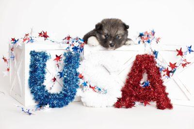 puppy279 week5 BowTiePomsky.com Bowtie Pomsky Puppy For Sale Husky Pomeranian Mini Dog Spokane WA Breeder Blue Eyes Pomskies Celebrity Puppy web2