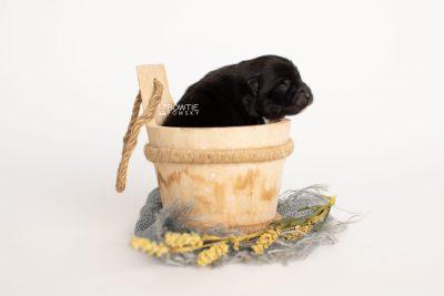 puppy280 week1 BowTiePomsky.com Bowtie Pomsky Puppy For Sale Husky Pomeranian Mini Dog Spokane WA Breeder Blue Eyes Pomskies Celebrity Puppy web2
