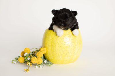 puppy280 week3 BowTiePomsky.com Bowtie Pomsky Puppy For Sale Husky Pomeranian Mini Dog Spokane WA Breeder Blue Eyes Pomskies Celebrity Puppy web2