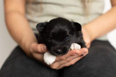 puppy280 week3 BowTiePomsky.com Bowtie Pomsky Puppy For Sale Husky Pomeranian Mini Dog Spokane WA Breeder Blue Eyes Pomskies Celebrity Puppy web7
