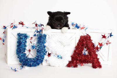 puppy280 week5 BowTiePomsky.com Bowtie Pomsky Puppy For Sale Husky Pomeranian Mini Dog Spokane WA Breeder Blue Eyes Pomskies Celebrity Puppy web2