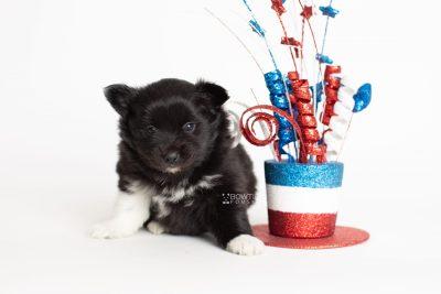 puppy280 week5 BowTiePomsky.com Bowtie Pomsky Puppy For Sale Husky Pomeranian Mini Dog Spokane WA Breeder Blue Eyes Pomskies Celebrity Puppy web5