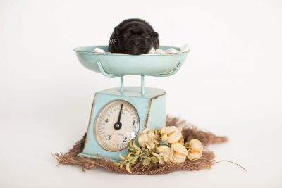 puppy281 week1 BowTiePomsky.com Bowtie Pomsky Puppy For Sale Husky Pomeranian Mini Dog Spokane WA Breeder Blue Eyes Pomskies Celebrity Puppy web1