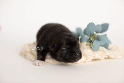 puppy281 week1 BowTiePomsky.com Bowtie Pomsky Puppy For Sale Husky Pomeranian Mini Dog Spokane WA Breeder Blue Eyes Pomskies Celebrity Puppy web2