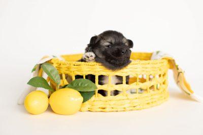 puppy281 week3 BowTiePomsky.com Bowtie Pomsky Puppy For Sale Husky Pomeranian Mini Dog Spokane WA Breeder Blue Eyes Pomskies Celebrity Puppy web3