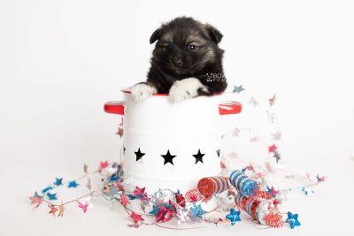 puppy281 week5 BowTiePomsky.com Bowtie Pomsky Puppy For Sale Husky Pomeranian Mini Dog Spokane WA Breeder Blue Eyes Pomskies Celebrity Puppy web1