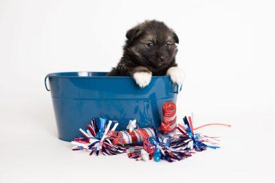 puppy281 week5 BowTiePomsky.com Bowtie Pomsky Puppy For Sale Husky Pomeranian Mini Dog Spokane WA Breeder Blue Eyes Pomskies Celebrity Puppy web3