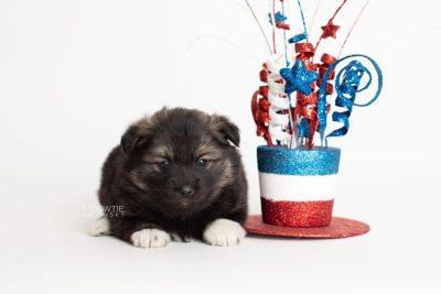 puppy281 week5 BowTiePomsky.com Bowtie Pomsky Puppy For Sale Husky Pomeranian Mini Dog Spokane WA Breeder Blue Eyes Pomskies Celebrity Puppy web5