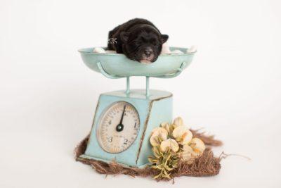 puppy282 week1 BowTiePomsky.com Bowtie Pomsky Puppy For Sale Husky Pomeranian Mini Dog Spokane WA Breeder Blue Eyes Pomskies Celebrity Puppy web1