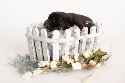 puppy282 week1 BowTiePomsky.com Bowtie Pomsky Puppy For Sale Husky Pomeranian Mini Dog Spokane WA Breeder Blue Eyes Pomskies Celebrity Puppy web4