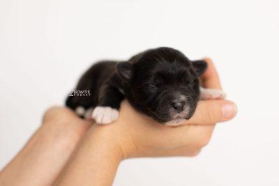 puppy282 week1 BowTiePomsky.com Bowtie Pomsky Puppy For Sale Husky Pomeranian Mini Dog Spokane WA Breeder Blue Eyes Pomskies Celebrity Puppy web7