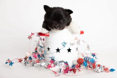 puppy282 week5 BowTiePomsky.com Bowtie Pomsky Puppy For Sale Husky Pomeranian Mini Dog Spokane WA Breeder Blue Eyes Pomskies Celebrity Puppy web1