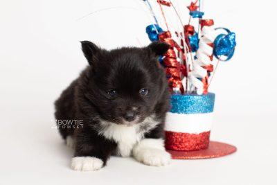 puppy282 week5 BowTiePomsky.com Bowtie Pomsky Puppy For Sale Husky Pomeranian Mini Dog Spokane WA Breeder Blue Eyes Pomskies Celebrity Puppy web5