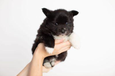 puppy282 week5 BowTiePomsky.com Bowtie Pomsky Puppy For Sale Husky Pomeranian Mini Dog Spokane WA Breeder Blue Eyes Pomskies Celebrity Puppy web7