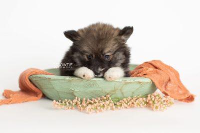 puppy278 week7 BowTiePomsky.com Bowtie Pomsky Puppy For Sale Husky Pomeranian Mini Dog Spokane WA Breeder Blue Eyes Pomskies Celebrity Puppy web2