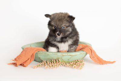 puppy279 week7 BowTiePomsky.com Bowtie Pomsky Puppy For Sale Husky Pomeranian Mini Dog Spokane WA Breeder Blue Eyes Pomskies Celebrity Puppy web2