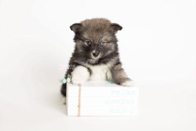 puppy279 week7 BowTiePomsky.com Bowtie Pomsky Puppy For Sale Husky Pomeranian Mini Dog Spokane WA Breeder Blue Eyes Pomskies Celebrity Puppy web4