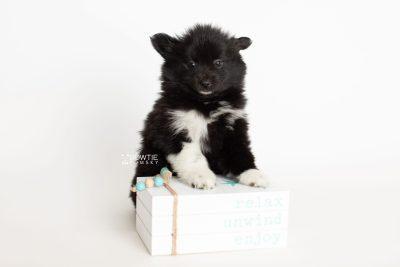 puppy280 week7 BowTiePomsky.com Bowtie Pomsky Puppy For Sale Husky Pomeranian Mini Dog Spokane WA Breeder Blue Eyes Pomskies Celebrity Puppy web4