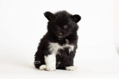 puppy280 week7 BowTiePomsky.com Bowtie Pomsky Puppy For Sale Husky Pomeranian Mini Dog Spokane WA Breeder Blue Eyes Pomskies Celebrity Puppy web6