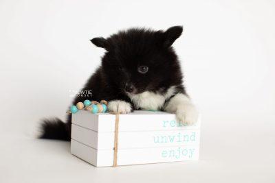 puppy281 week7 BowTiePomsky.com Bowtie Pomsky Puppy For Sale Husky Pomeranian Mini Dog Spokane WA Breeder Blue Eyes Pomskies Celebrity Puppy web4
