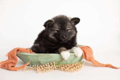 puppy282 week7 BowTiePomsky.com Bowtie Pomsky Puppy For Sale Husky Pomeranian Mini Dog Spokane WA Breeder Blue Eyes Pomskies Celebrity Puppy web2
