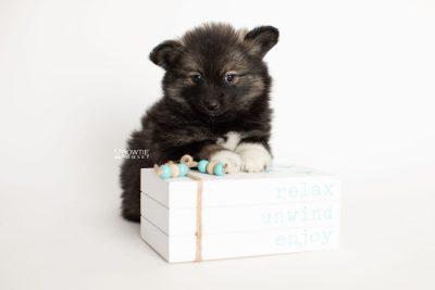 puppy282 week7 BowTiePomsky.com Bowtie Pomsky Puppy For Sale Husky Pomeranian Mini Dog Spokane WA Breeder Blue Eyes Pomskies Celebrity Puppy web4