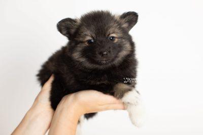 puppy282 week7 BowTiePomsky.com Bowtie Pomsky Puppy For Sale Husky Pomeranian Mini Dog Spokane WA Breeder Blue Eyes Pomskies Celebrity Puppy web7